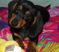 Meet Dixie…Wiener Dog Star of Dazed & Divorced, Book 1 in the Rom-Com on the Edge Series